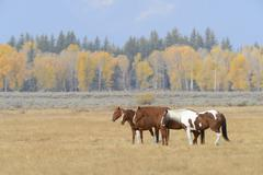 Horses standing in field together, Grand Teton National Park, autumn, Wyoming, - stock photo