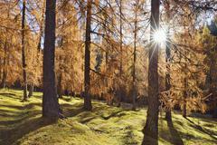 European Larch (Larix decidua) forest in autumn with sun, Cadore, Cortina - stock photo