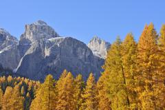 European Larch (Larix decidua) Forest in Autumn Foliage with Mountain in the - stock photo