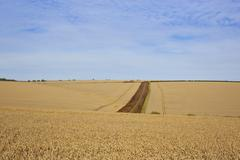 wheat field vista - stock photo