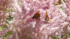 Butterflies and pink flowers on the meadow Stock Footage