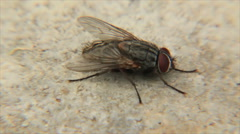 Housefly escapes from a small beetle - stock footage