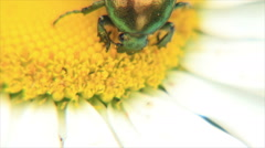 Green beetle head in flower core Stock Footage