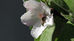 Bee on quince flower Stock Footage
