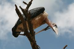 Marabou bird sitting on branch of dead tree and looks down. - stock photo