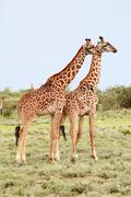 Pair giraffes in the African savannah on background bushes. - stock photo