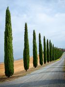 Cypress alley in Tuscany, Italy. - stock photo