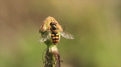 Stock Video Footage of Bee on mature poppy head