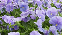 Flowers Pansy purple. Morning dew on the petals. Stock Footage