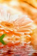 Closeup daisy - gerbera (very shallow focus - DOF) Stock Photos