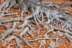 Roots of a tree in fall colors - stock photo