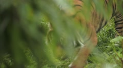 Asian Tiger Moving Around Stock Footage