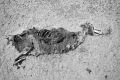 Seal Pup Carcass - stock photo