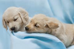 Two small puppyl - golden retriver - stock photo