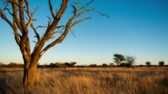 An Acacia Tree and The Milky Way Stock Footage