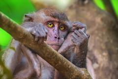 Crab-eating macaque, long-tailed macaque, Macaca fascicularis Stock Photos