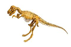 Trex skeleton isolated - stock photo