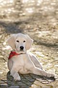 Close up look - puppy golden retriever.. - stock photo