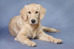 Close up look - puppy golden retriever.. Stock Photos