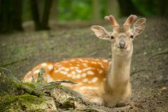 Deer lying in the park with new antlers - stock photo