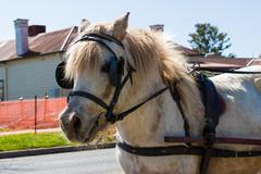 Shetland Pony Wearing a Harness - stock photo