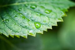 Detail view of a green leaf with drops of water - stock photo