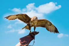 Portrait hawk on falconer gloves Stock Photos