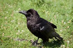 Tame raven sitting on the grass Stock Photos