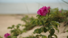 Pink flower of rose hips swaying Stock Footage