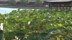 Chinese water lilies, lake pavilion, China Stock Footage