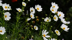 Close up white cosmos flowers in garden Stock Footage