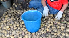 Teenage boy and  woman sort the potato harvest Stock Footage