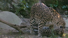 Amur leopard (Panthera pardus orientalis)with cubs playing. Stock Footage