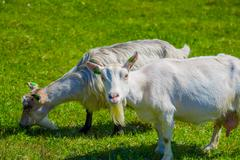 VALDRES, NORWAY - 6 JULY, 2015: Mountain goats wandering freely in beautiful - stock photo