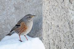 alpine accentor (prunella collaris) small bird  in the snow - stock photo