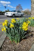 Urban roadside daffodils. Stock Photos