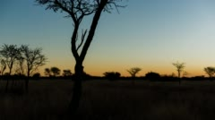 An Acacia Tree and sunset Stock Footage