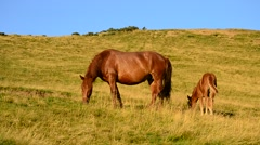 Brown mare and foal grazing in late summer in Mountains Stock Footage