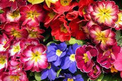 Colorful bouquets primrose Stock Photos