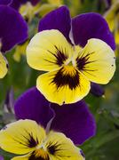 bicolor flower viola - stock photo