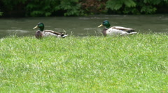 Beautiful ducks walking on the waterfront in Munich Stock Footage
