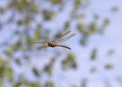 Brown Hawker Dragonfly - stock photo