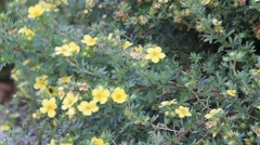 St. John's wort, Hypericum perforatum, medicinal plant Stock Footage
