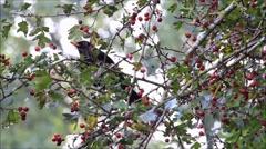 black bird in tree, turdus merula, eating rowan berries, winter - stock footage