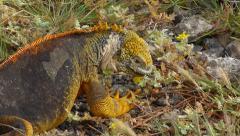 Land Iguana Eating Stock Footage