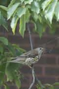 Song Thrush ( Turdus philomelos ) - stock photo