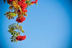 Rowan tree in autumn colours - stock photo