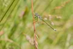 Emerald Damselfly ( Lestes sponsa ) Stock Photos