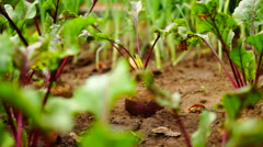 Beetroot (Beta vulgaris) leaves moving by wind, horizontally shot Stock Footage