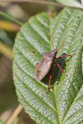 Shield bug - stock photo